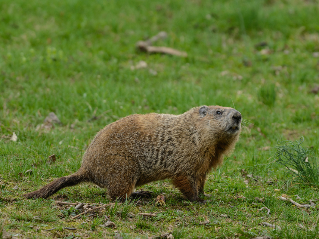 GROUND HOG also referred to as a WOODCHUCK